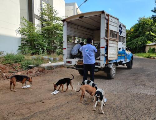 Stray feeding during lockdown – Chennai, June 2021